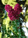 一朵美丽的花的石榴石颜色开花的小瓣与密集的绿色叶子的 免版税库存照片