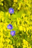 一朵美丽的苦苣生茯花 免版税库存图片