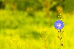 一朵美丽的苦苣生茯花 图库摄影