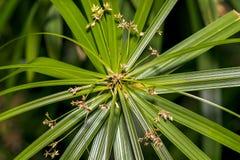 一朵美丽的莎草属纸莎草植物/花的特写镜头 免版税库存照片
