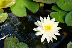 一朵美丽的莲花在池塘 库存图片