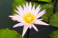一朵美丽的莲花在池塘 图库摄影