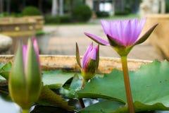 一朵美丽的莲花在池塘 免版税库存图片
