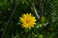 一朵美丽的蒲公英花的特写镜头,自然,宏指令 库存照片