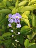 一朵美丽的蓝色花 免版税库存照片