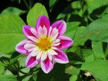 一朵美丽的铁线莲属花 图库摄影