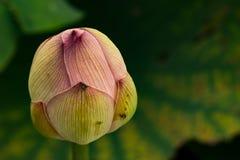 一朵美丽的闭合的郁金香花在桃红色和桃子轻淡优美的色彩下闪耀2016年 免版税图库摄影