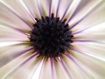 一朵美丽的雏菊的照片 免版税库存图片