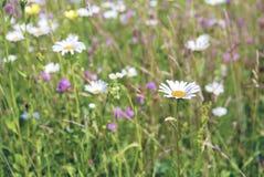 一朵美丽的雏菊花的图象 库存图片