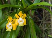 一朵美丽的黄色万代兰属denisoniana兰花的图象在庭院里, 图库摄影