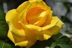 一朵美丽的黄色玫瑰和叶子的特写镜头 免版税图库摄影