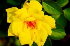 一朵美丽的黄色玫瑰的特写镜头在庭院里 免版税图库摄影