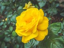 一朵美丽的黄色玫瑰花的特写镜头视图在反对软被聚焦的背景的庭院里 免版税库存图片