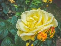一朵美丽的黄色玫瑰花的特写镜头视图在反对软被聚焦的背景的庭院里 免版税库存照片
