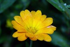 一朵美丽的黄色花在庭院里 免版税图库摄影