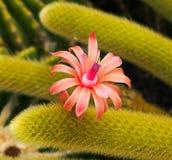 一朵美丽的仙人掌花 库存图片
