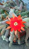 一朵美丽的仙人掌花! 图库摄影