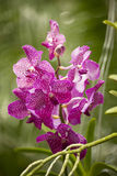 一朵美丽的紫色和桃红色兰花在分支开花 库存照片