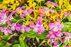 一朵美丽的紫色和桃红色兰花在垂悬在天空中的分支开花 免版税库存照片