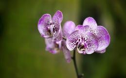 一朵美丽的紫色和桃红色兰花花 库存照片