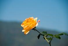 一朵美丽的黄色玫瑰 免版税库存照片