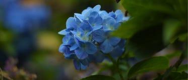 一朵美好的蓝色花绽放本质上 库存照片