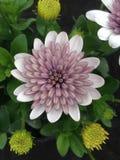 一朵美妙的菊花菊科花 免版税库存图片