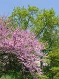 一朵美妙的醉汉开花的桃红色樱花的分支以绿色树为背景的 图库摄影
