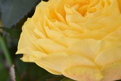 一朵美妙的黄色玫瑰的特写镜头在一个庭院里在德国 免版税库存图片