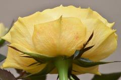 一朵美妙的黄色玫瑰的特写镜头在一个庭院里在德国 免版税库存照片