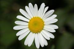 一朵自然狂放的雏菊花 库存照片