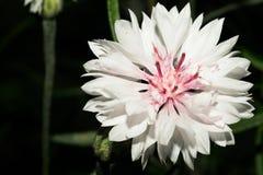 一朵花与白色短的瓣和与一个浅紫色的中心 宏指令 库存图片