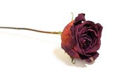 一朵花干死的花红色玫瑰 枯萎的玫瑰 被隔绝的o 免版税库存图片