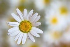 一朵花开花雏菊 免版税图库摄影