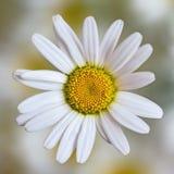 一朵花开花雏菊 库存照片