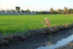 一朵花有米领域被弄脏的背景  免版税图库摄影