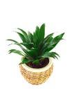 一朵花的图象在一个罐的空间龙血树属植物 免版税库存图片