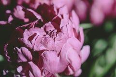 一朵花的桃红色织地不很细瓣在绽放的 库存图片