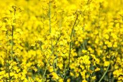 一朵花的特写镜头在一个开花的油菜籽领域的在春天期间的法国乡下 图库摄影