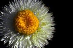 一朵花的特写镜头与许多白色苗条瓣的和在黑背景的大凸面黄色中部,在右边一点 免版税库存图片