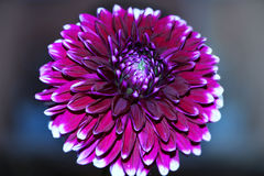 一朵花翠菊 库存照片