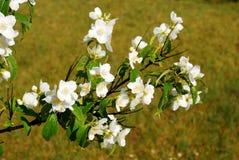 一朵茉莉花的美丽的花在草的 库存图片