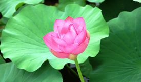 一朵莲花和叶子在河 免版税库存图片