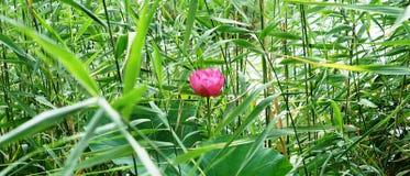 一朵莲花和注意叶子在夏天 免版税库存照片