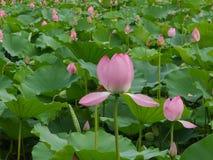 一朵莲花和许多绿色叶子在夏天 免版税库存照片
