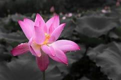 一朵莲花在下雨中 免版税库存图片