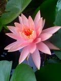 一朵莲花在池塘 免版税库存照片