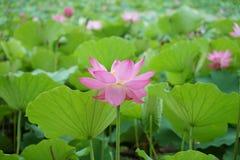 一朵莲花在河在夏天 免版税库存图片