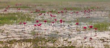 一朵莲花的花池塘的安静的表面上的 免版税库存图片