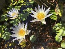 一朵莲花的蓝色荷花和光叶子在一个池塘在晴天,在水的补丁和阴影,在莲花的昆虫 免版税库存照片